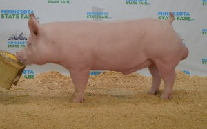 2015 MN State Fair Open Show Champ York Boar
