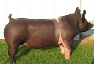 2015 Champ Market Gilt Wabasha County